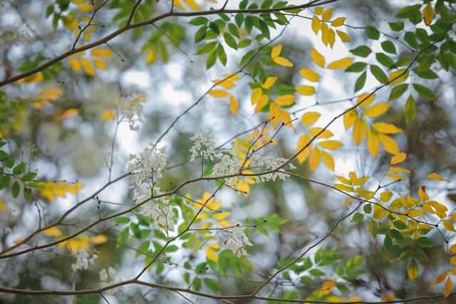 Hà Nội đẹp dịu dàng giữa màu trắng hoa Sưa  - Ảnh 8