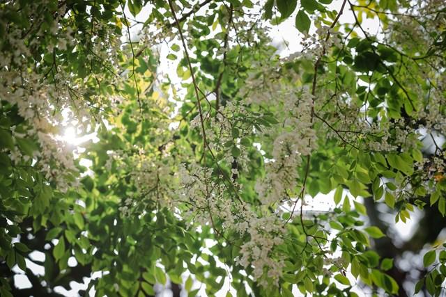 Khi trời miền Bắc hãy còn những đợt rét nhẹ, hoa sưa bắt đầu bung nở những cánh nhỏ xinh, khoe sắc trắng tinh khiết. Ảnh: Phạm Anh.