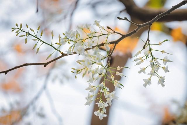 Hà Nội đẹp dịu dàng giữa màu trắng hoa Sưa  - Ảnh 4
