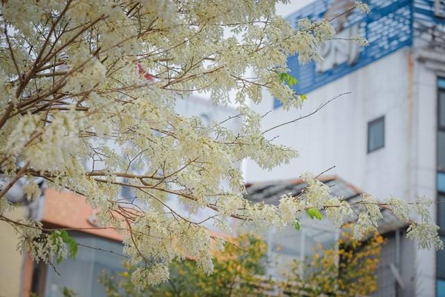 Hà Nội đẹp dịu dàng giữa màu trắng hoa Sưa  - Ảnh 7