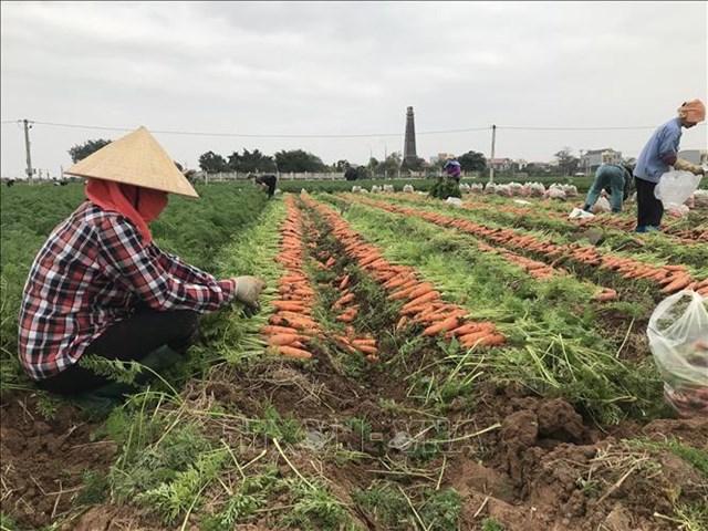 Thu hoạch cà rốt ở Hải Dương. Ảnh minh họa: TTXVN.