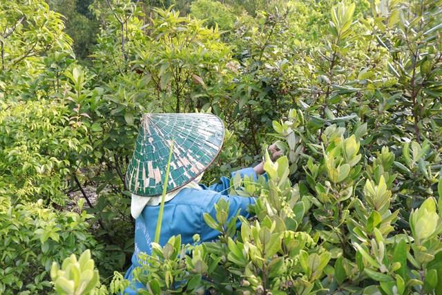 Quảng Ninh: Náo nức rủ nhau hái sim trên đảo Quan Lạn - Ảnh 1