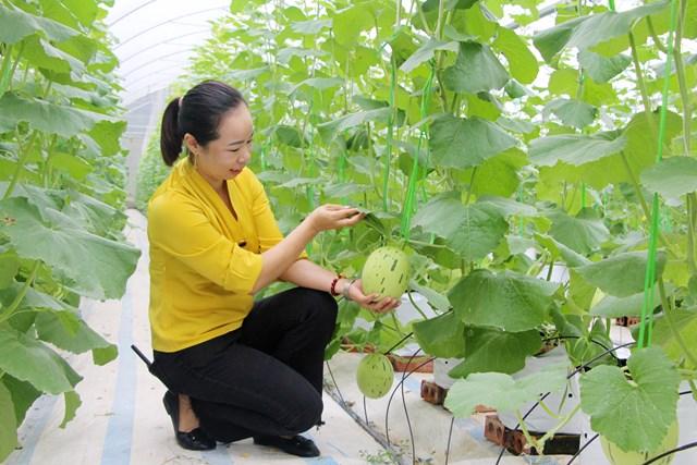 Mô hình trồng dưa trong nhà màng của Công ty CP Thương mại và Xây dựng Đầm Hà (xã Quảng Tân, huyện Đầm Hà) cho năng suất cao. Ảnh: THU CHUNG