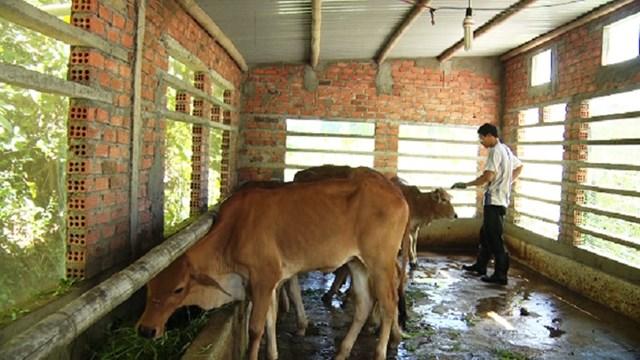 Người dân chăm sóc chuồng trại phòng chống rét gia súc.