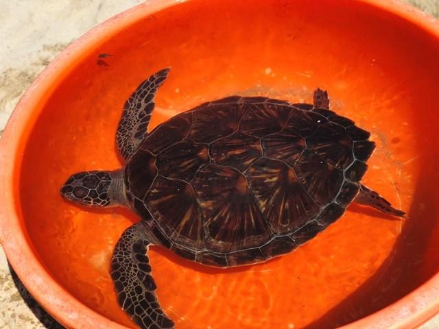 Lực lượng chức năng tiếp nhận cá thể rùa biển quý hiếm.