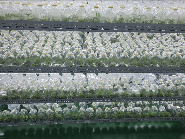 Sâm Ngọc Linh nuôi cấy mô tại Sâm Sâm Group.