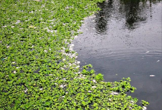 Cá chết trôi nổi bốc mùi hôi thối ở hồ điều tiết.