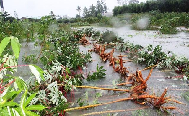 Thu hoạch sắn bị ngập nước ở xã Tam An.