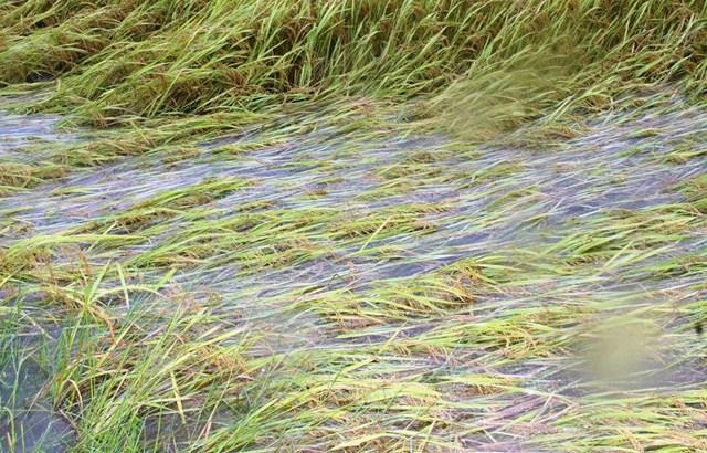 Nhiều diện lúa ở huyện Phú Ninh bị ngập nước.