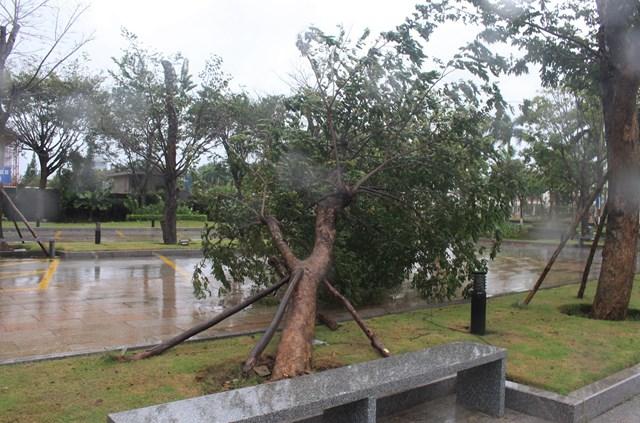 Cây xanh ở TP Tam Kỳ bất gốc ngã đổ.