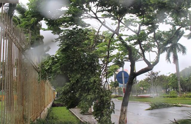Nhiều cây cồi bị gió làm gãy ngã.