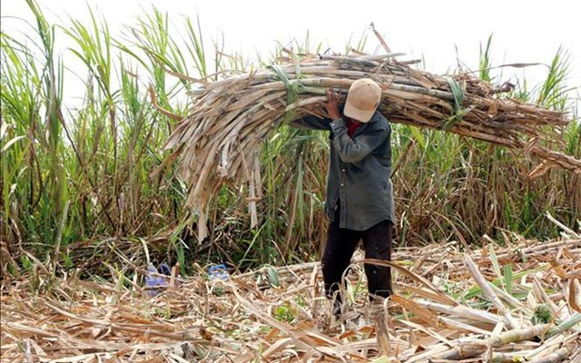 Người nông dân phải bỏ ruộng mía vì thua lỗ. Nguồn:Internet.