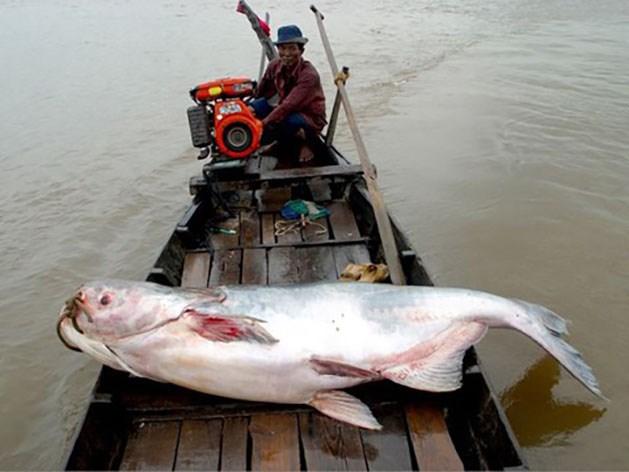 """Cá hô còn được mệnh danh là """"cá vua"""" của sông nước miền Tây.Ảnh: Answers.com."""