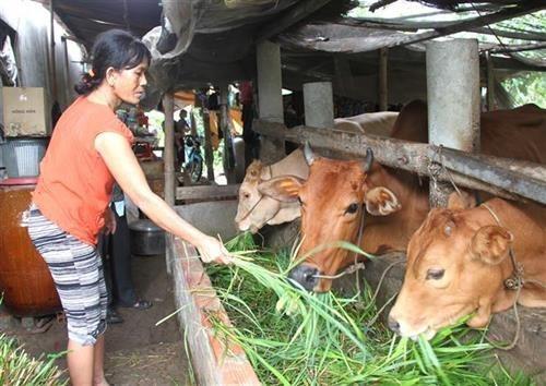 Bà Thạch Thị Dện ở xã Tân Mỹ, huyện Trà Ôn (Vĩnh Long) chăm sóc đàn bò do đề án hỗ trợ nuôi bò sinh sản cho hộ nghèo hỗ trợ.