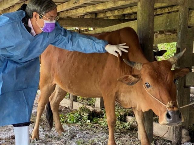 Cán bộ thú y kiểm tra bò mắc bệnh u cục.