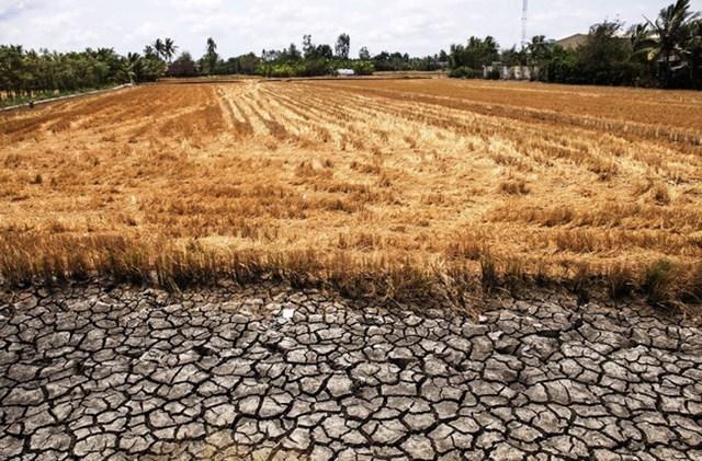 Xâm nhập mặn khiến ruộng đồng nhiều nơi ở ĐBSCL hoang hóa.