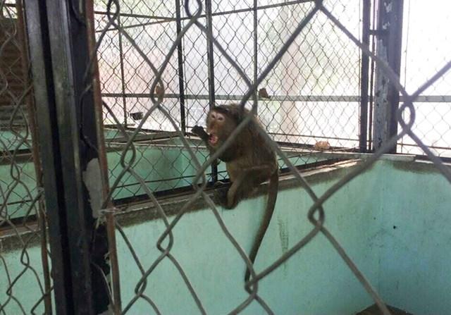 Khỉ được đưa về chăm sóc ở Trạm cứu hộ động vật Củ Chi. Ảnh: Chi cục Kiểm lâm TP HCM cung cấp.