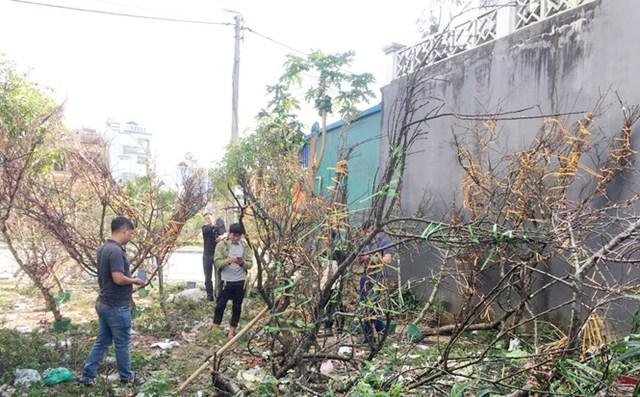 """Việc đưa """"đào rừng"""" trồng ở vùng cao xuống phố giúp nhiều bà con có Tết ấm no."""