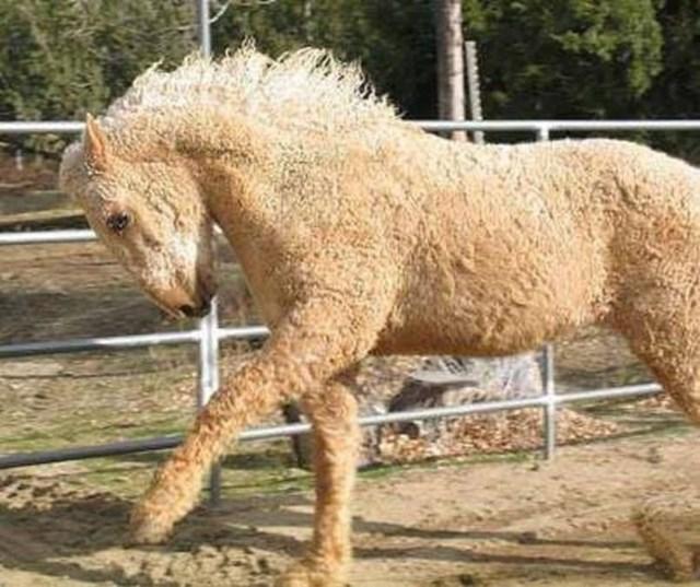 Ngựa xoăn Bashkir có tất cả các màu ngựa phổ biến, từ Palomino, Appaloosa và Pinto. Chúng sở hữu sức chịu đựng tuyệt vời và một cơ thể dẻo dai.