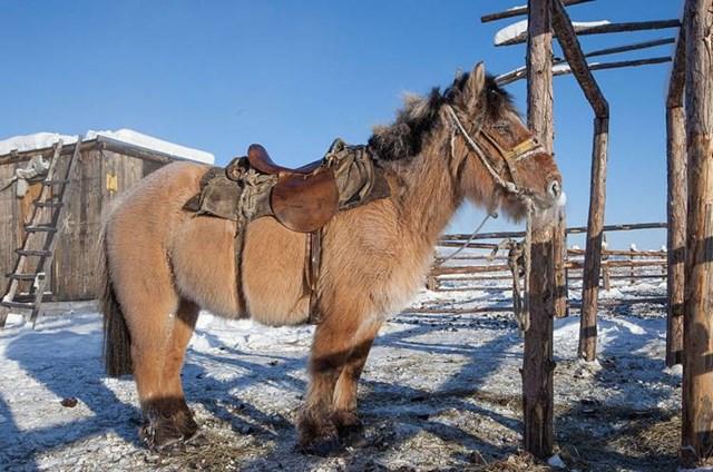 Tiếp đến những chú ngựa Yakutia với ngoại hình khá lạ, chúng chỉ cao từ 140-145 cm nhưng có thể nặng tới nửa tấn do lớp mỡ dày và bờm nặng dài tới 10 cm.