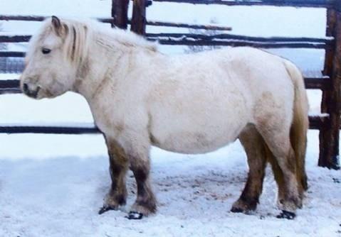 Ngựa Yakut có thể di chuyển dễ dàng qua lớp tuyết dày và chở tới 300 kg hàng hóa. Chúng cũng là một trong những loài ngựa kiên cường nhất, có thể làm việc tích cực lên đến 25-27 năm, trong khi trung bình chung của ngựa là 20 năm.