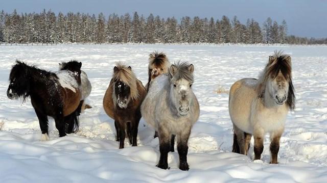 Bộ gen của giống ngựa Yakutia có liên quan đến những con ngựa Mông Cổ, Fjord và Iceland, trong đó, rất có thể tổ tiên của chúng là ngựa Mông Cổ.