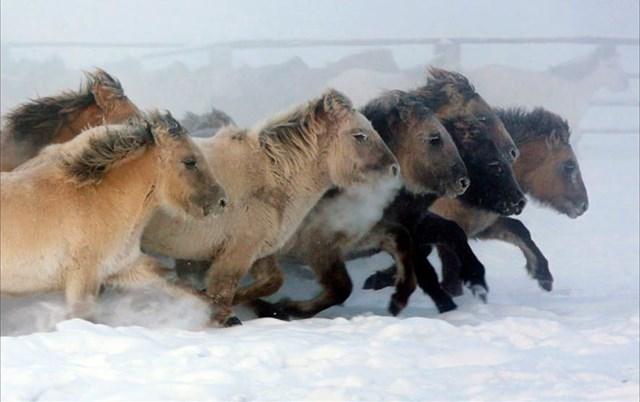 Nhiệt độ mùa đông lạnh ở khu vực phía bắc Yakutia của Nga có thể xuống dưới âm 70 độ C, nhưng đối với những chú ngựa bản địa trong khu vực này, nhiệt độ khắc nghiệt như vậy chúng vẫn có thể thoải mái sống cả ngày lẫn đêm ở ngoài trời.