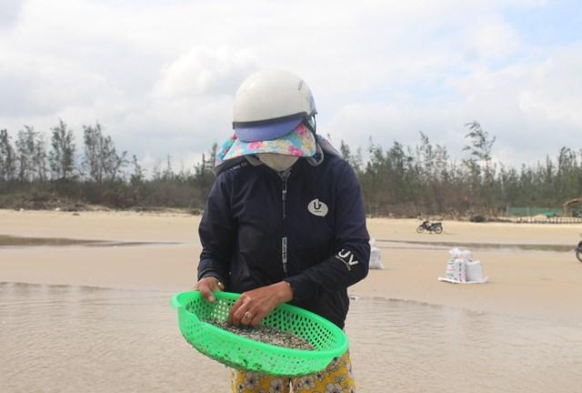Ngư dân Quảng Ngãi, Quảng Nam được mùa ốc gạo - Ảnh 1