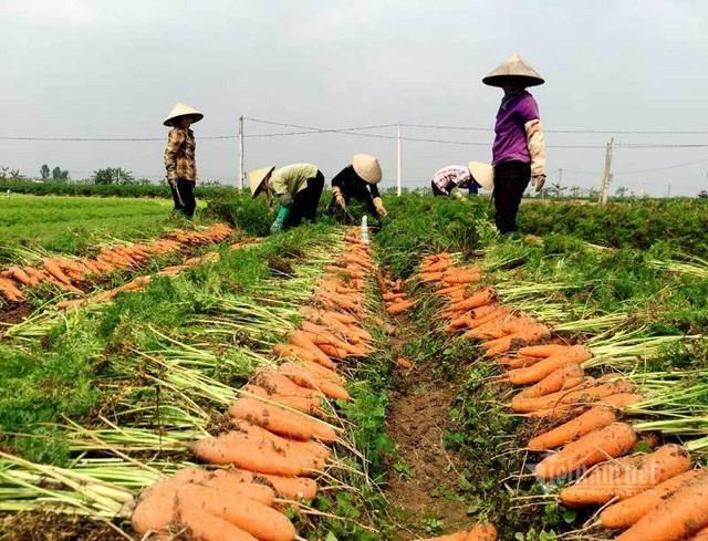 Cà rốt được mùa, được giá.
