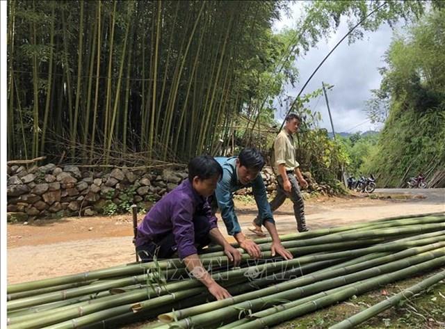 Cây trúc sào mang lại hiệu quả kinh tế cao cho người dân huyện Bảo Lạc.