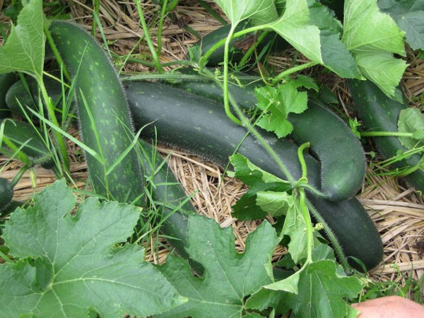 Kỹ thuật trồng bí xanh