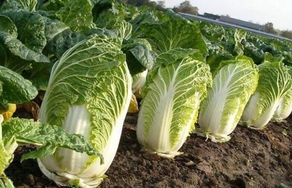 Cách trồng và chăm sóc cây cải thảo