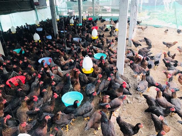 Hàng ngàn con gà của gia đình ông Tấn chưa bán được.Ảnh: Ánh Hồng.