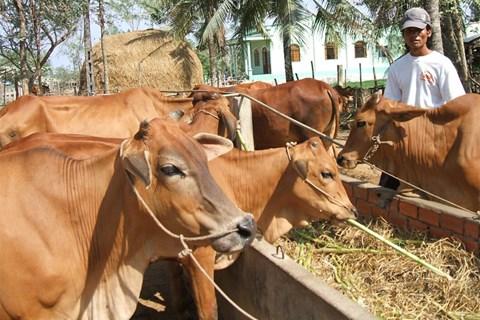 Phụ phế phẩm nông nghiệp dồi dào rất thuận lợi cho chăn nuôi bò.