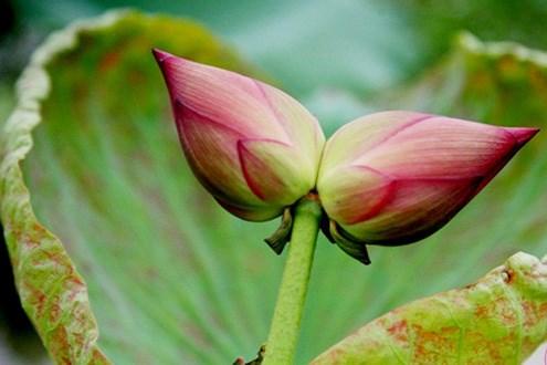 Đóa hoa sen 'sinh đôi' đặc biệt hiếm - Ảnh 1