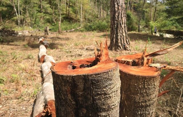 Cây rừng phòng hộ nằm giáp ranh giữa hai xã Đạ Sar và Đạ Nhim, huyện Lạc Dương (Lâm Đồng) bị đốn hạ Ảnh: Đặng Tuấn.
