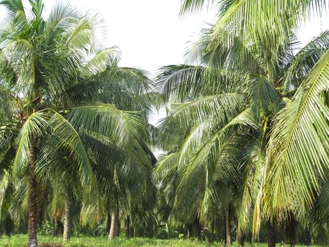 Cây dừa đã phục hồi sau hạn mặn.