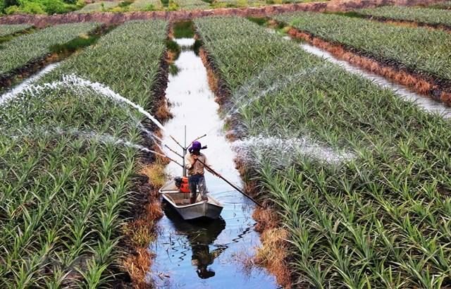 Phun nước tưới chăm sóc khóm (dứa) theo mô hình nông nghiệp công nghệ cao tại một trang trại ấp Bình Hòa (xã Bình Thạnh, huyện Trảng Bàng, tỉnh Tây Ninh). Ảnh: Lê Đức Hoảnh.
