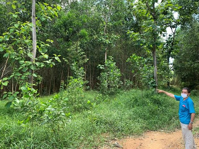Rừng sản xuất tại huyện Định Quán.