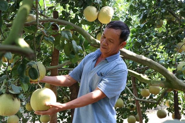 Nông dân Đồng Nai thu hoạch bưởi đào.