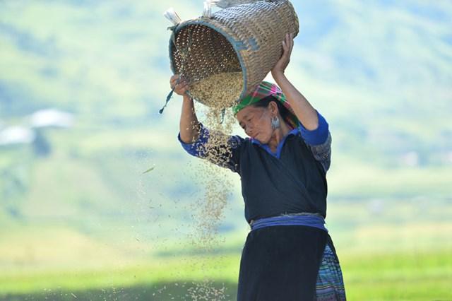 Người dân thu hoạch lúa tại xã La Pán Tẩn.